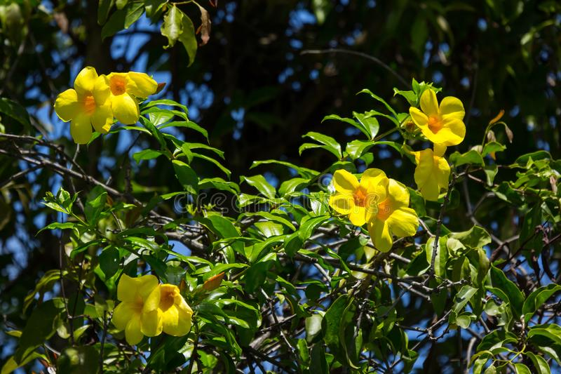 Yellow Allamanda flower with green leaf royalty free stock image