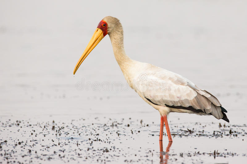 Close up of yellow-billed stork in water stock image