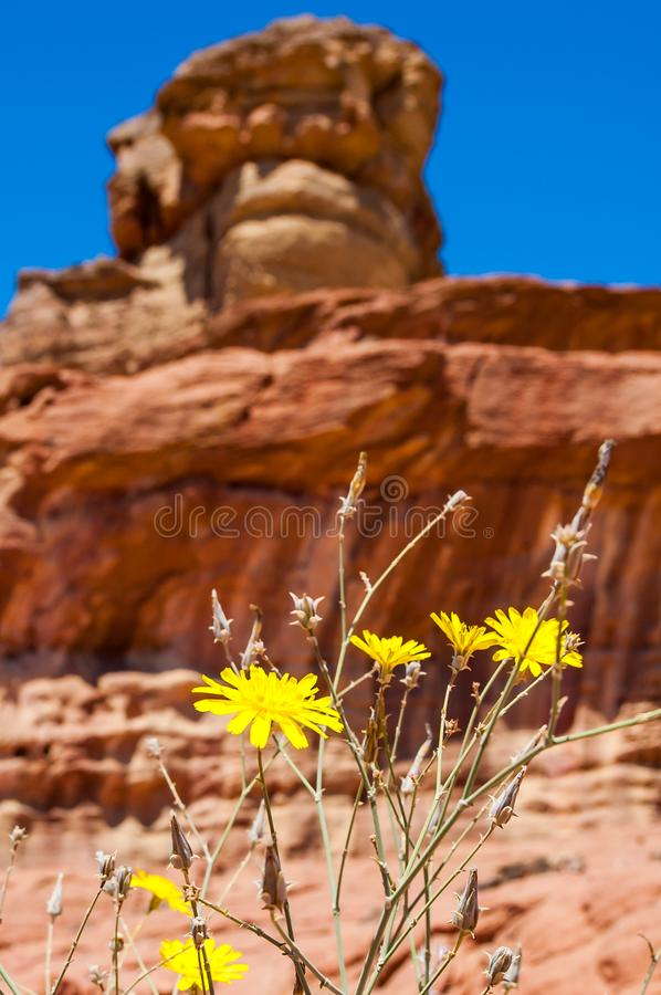 Close-up of yellow blooming desert flowers with Spiral Hill rocky mountain in Timna National Park in Aravah Valley in Israel stock photo