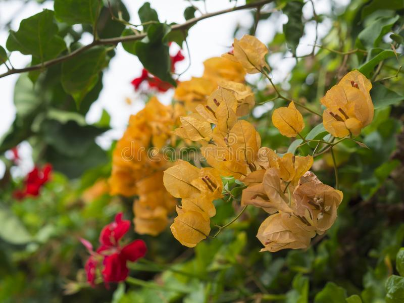 Close up yellow Bougainvillea glabra flower and red flowers with royalty free stock images