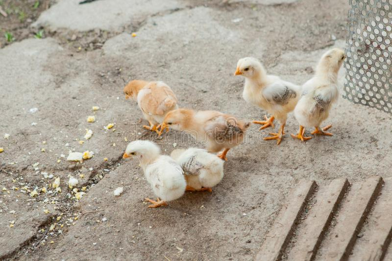 Close up yellow chicks on the floor , Beautiful yellow little chickens, Group of yellow chicks.  royalty free stock photos
