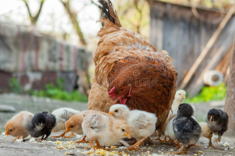 Close up yellow chicks on the floor , Beautiful yellow little chickens, Group of yellow chicks.  stock photography