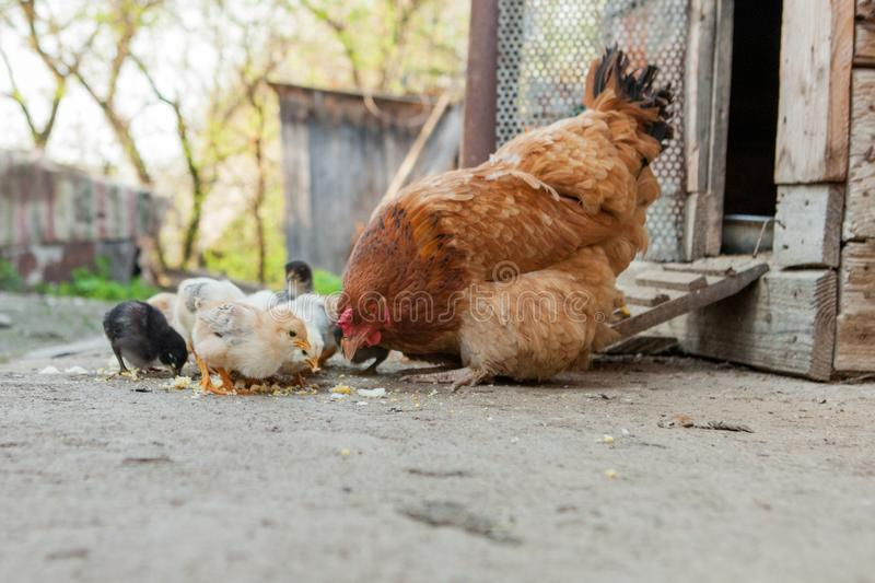 Close up yellow chicks on the floor , Beautiful yellow little chickens, Group of yellow chicks.  royalty free stock photography