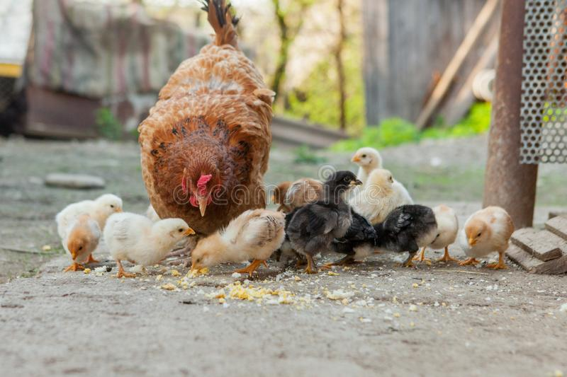 Close up yellow chicks on the floor , Beautiful yellow little chickens, Group of yellow chicks.  royalty free stock images