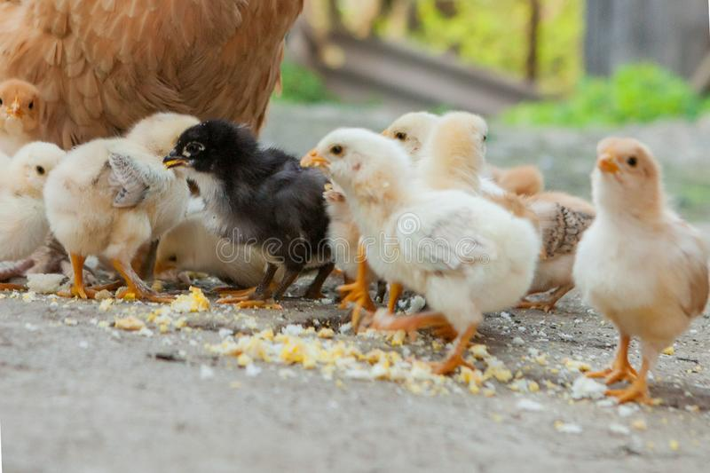 Close up yellow chicks on the floor , Beautiful yellow little chickens, Group of yellow chicks.  stock photo
