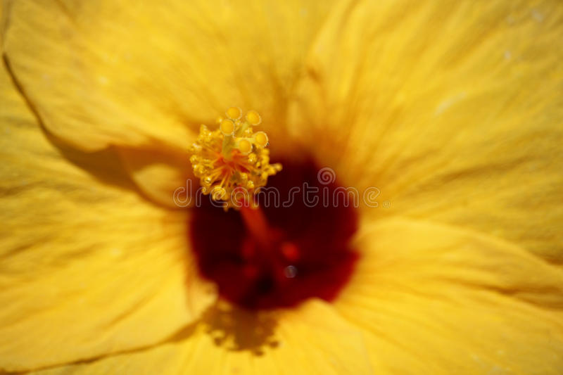 Close up of Yellow Chinese hibiscus royalty free stock photo