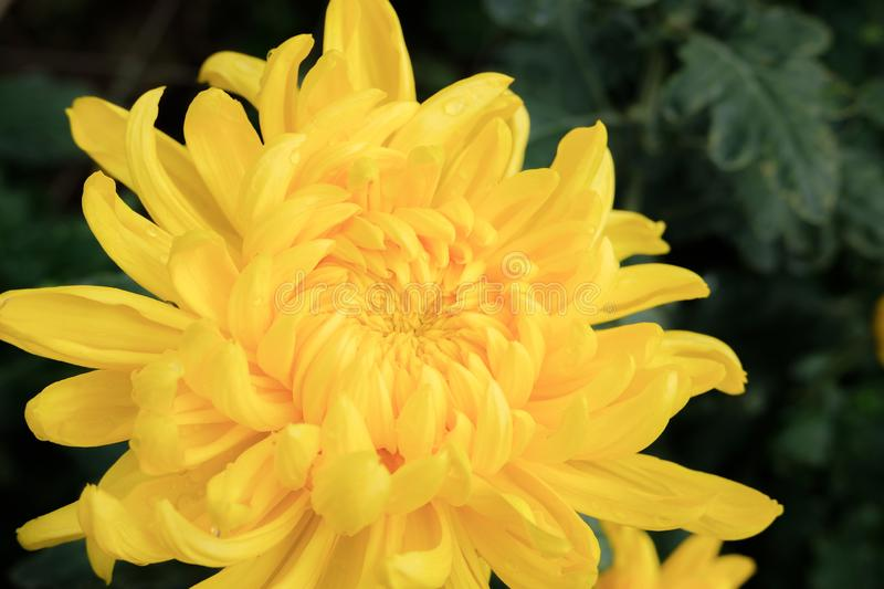 Close up yellow chrysanthemum flower bloom beautiful, flower in garden, The concept of summer. Or spring royalty free stock photos
