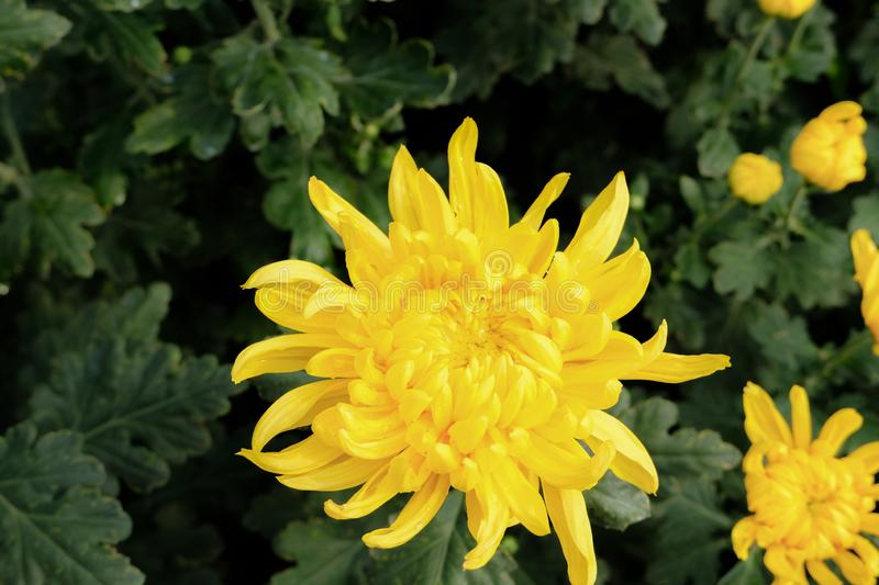 Close up yellow chrysanthemum flower bloom beautiful, flower in garden, The concept of summer. Or spring royalty free stock photography