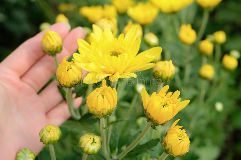 A beautiful yellow Chrysanthemum flower in a hand with garden view background. Close up yellow chrysanthemum flower bloom beautiful, flower in garden, The royalty free stock photo
