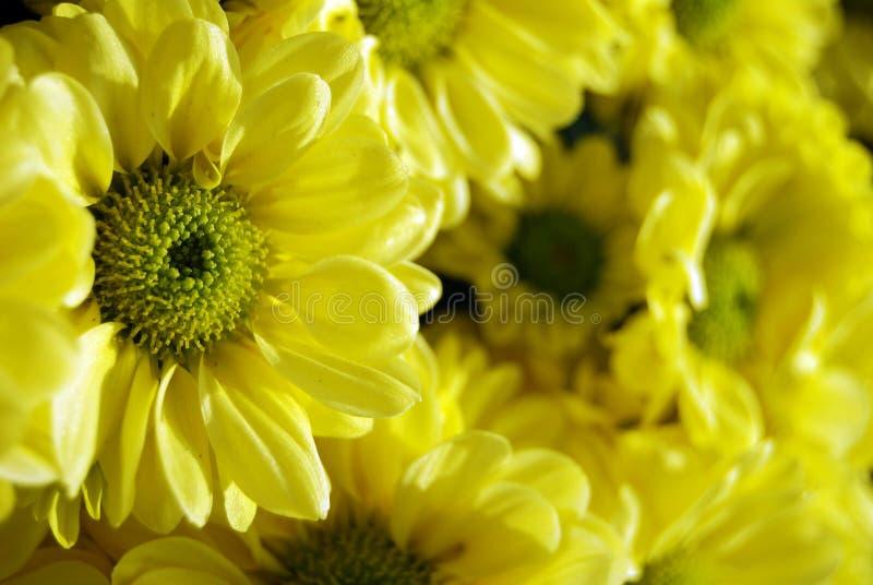 close up yellow Chrysanthemum  flower  soft  focus royalty free stock photos