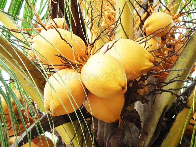 Close up yellow coconut at tree. Close up many yellow coconut at tree royalty free stock photos
