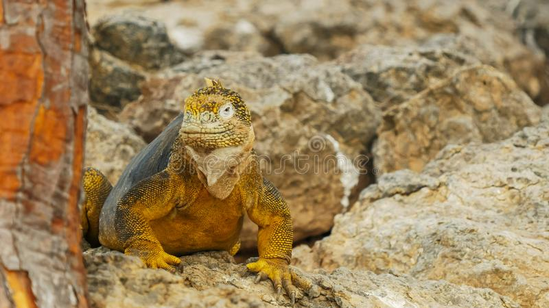Close up of a yellow colored iguana looking around in the galapagos royalty free stock photography