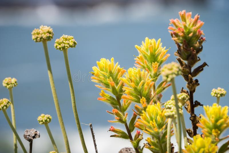 Close up of Yellow colored Indian paintbrush Castilleja wildflowers stock photography