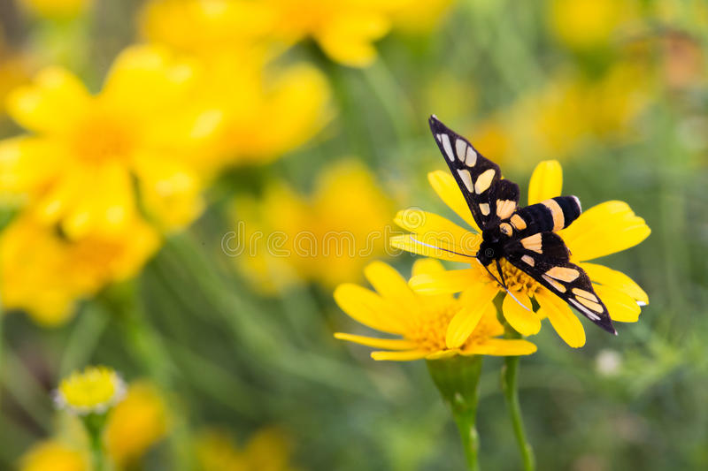 Close up yellow daisy in garden and butterfly. Yellow daisy in garden and butterfly royalty free stock photo