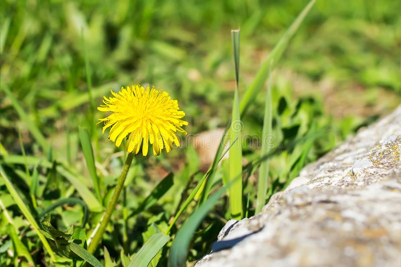 Close-up of a yellow dandelion flower on a blurred background of green grass on a sunny spring day. Blooming meadow flowers in stock photography