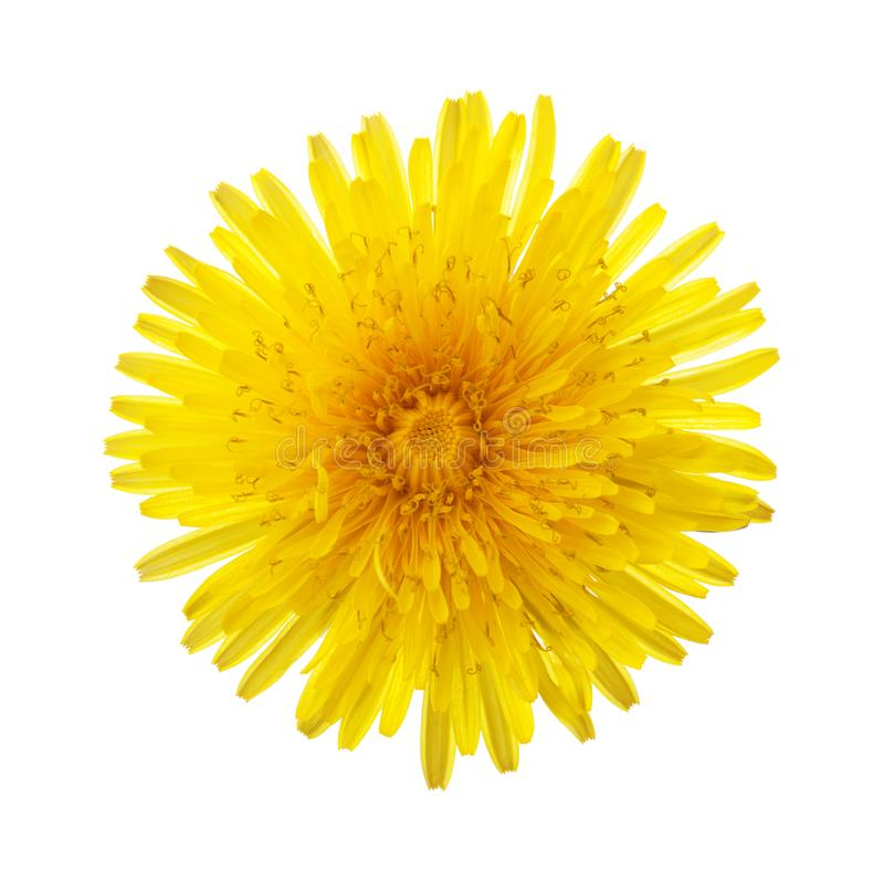 Close-up of yellow dandelion flower isolated on white background.  royalty free stock photo