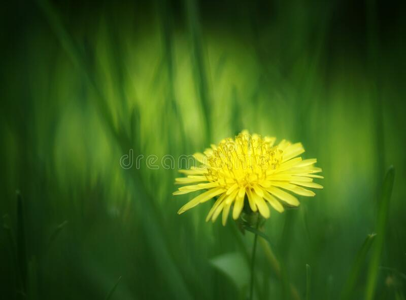 Close-up of a yellow dandelion in grass with sun back light stock photography