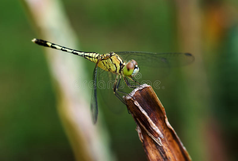 Close up of yellow dragonfly on flower grass stock image