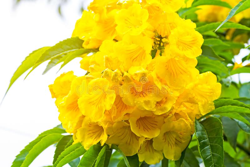 Close up Yellow elder, Yellow bells, or Trumpetflower, Scientific name is Tecoma stans royalty free stock photography