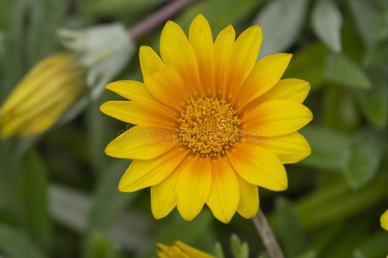 Close up yellow flower Crown Marigold on green field. Macro effect top view stock images