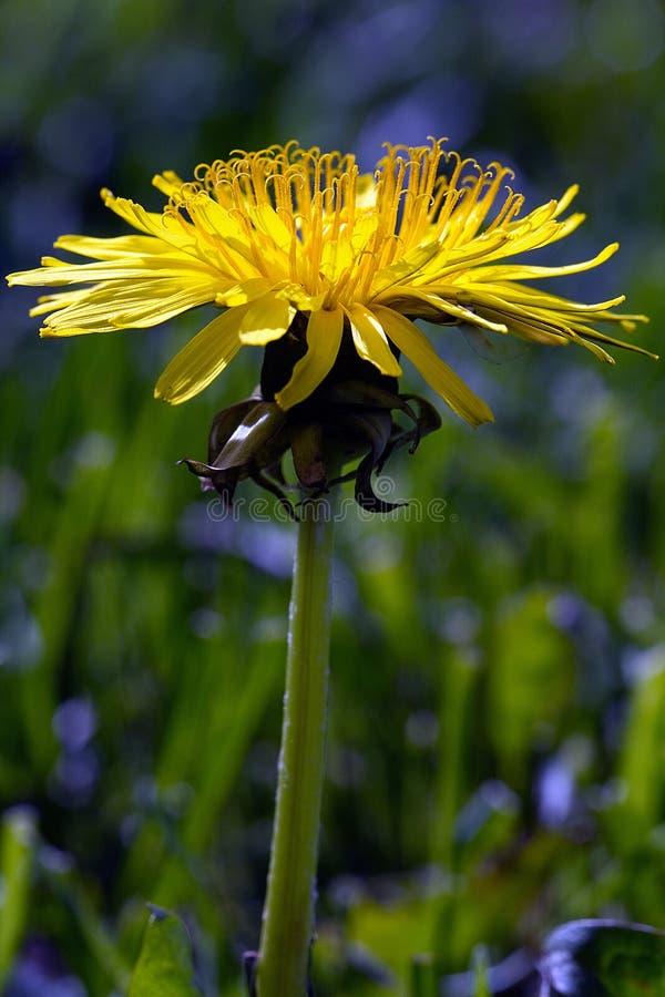 Close up of a yellow flower vertical shot. Shot at the Ballard Locks in Seattle, Washington US stock image