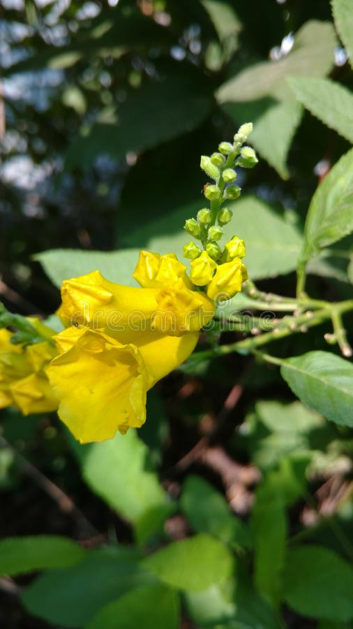 Yellow elder or trumpet flower or tecoma stans stock image