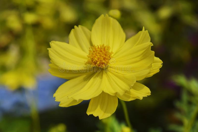 Close-Up Of yellow Flowering Plant In the garden.  stock photo