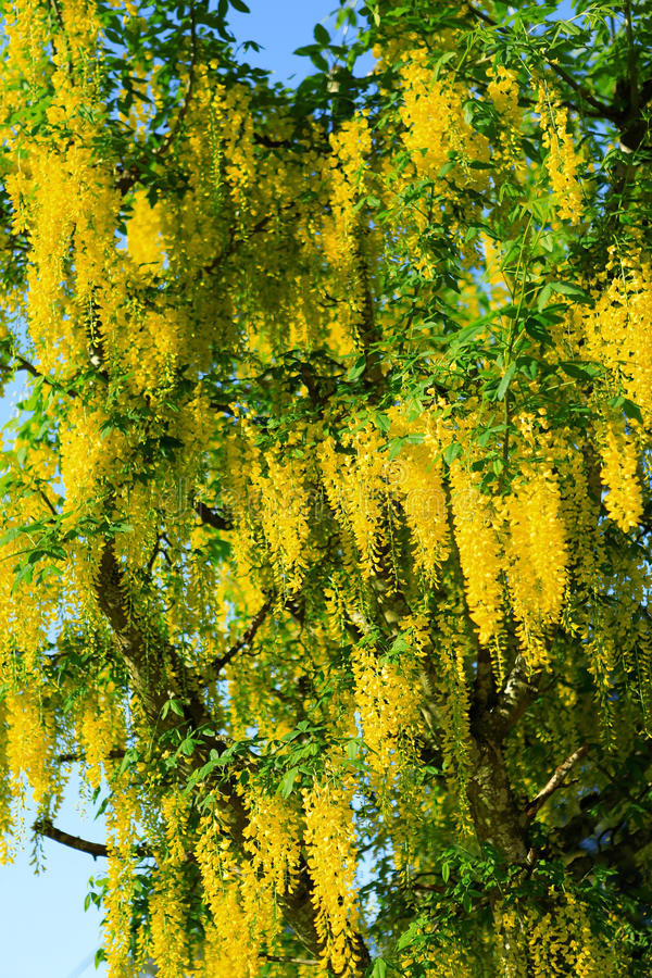 Yellow Flowering Acacia Related Keywords Suggestions Yellow