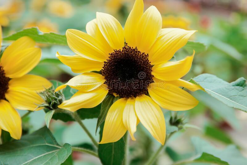 Close-up of Yellow Flowers Blooming Outdoors stock photography
