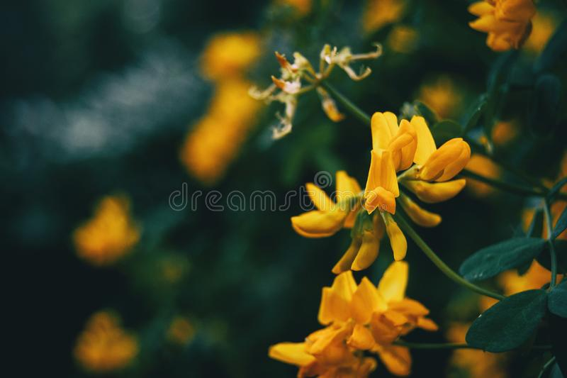 Close-up of yellow flowers of coronilla valentina. In nature stock photo