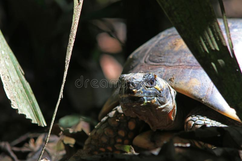Close up of a yellow footed turtle, Chelonoidis denticulata with leaves in the background stock photo