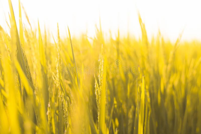 Close up of yellow green rice paddy  field yellow golden tone spring summer concept idea background. Rice paddy stock photo