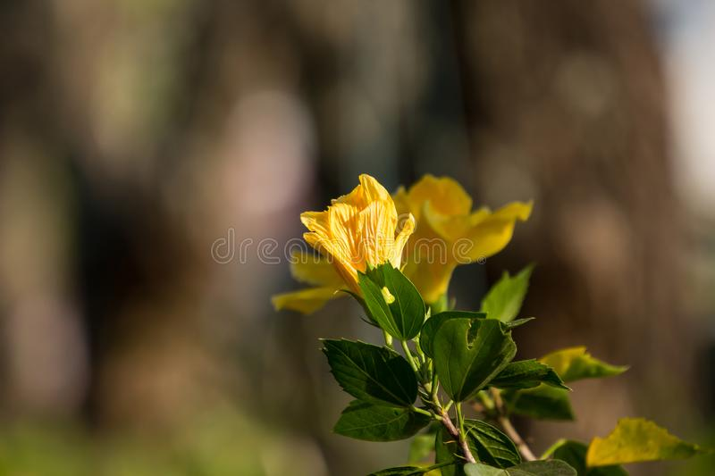 Close up of Yellow Hibiscus rosa-sinensis royalty free stock image