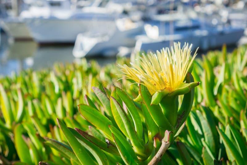 Close up of Yellow Iceplant Carpobrotus edulis wildflowers. Yellow Iceplant Carpobrotus edulis flower on the Pacific coastline near a harbor, California; blurred stock photography