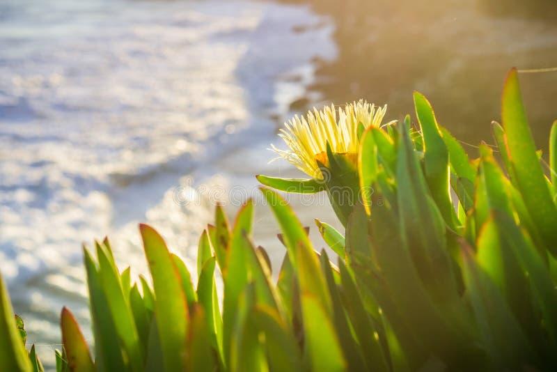 Close up of Yellow Iceplant Carpobrotus edulis wildflowers. Yellow Iceplant Carpobrotus edulis wildflowers on the Pacific coastline, California; blurred stock photo