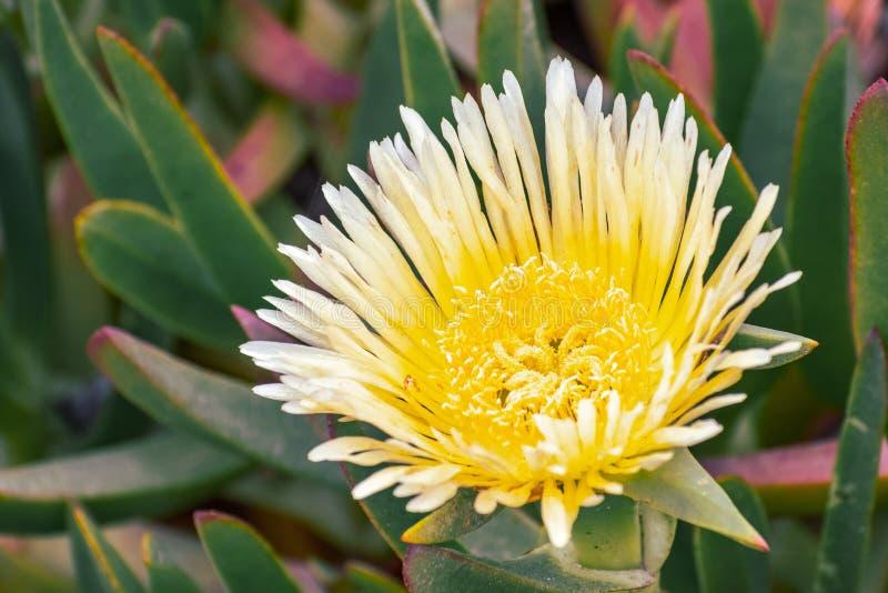 Close up of Yellow Iceplant flower Carpobrotus edulis, California royalty free stock photography