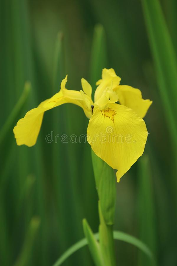 A close up of a yellow iris in full bloom on the edge of a marsh. A yellow iris in full bloom, macro stock photos