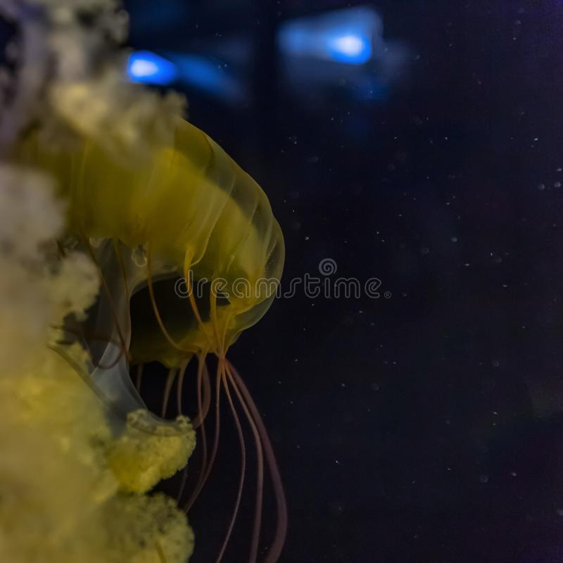 Close up of a yellow jellyfish inside an aquarium stock photo