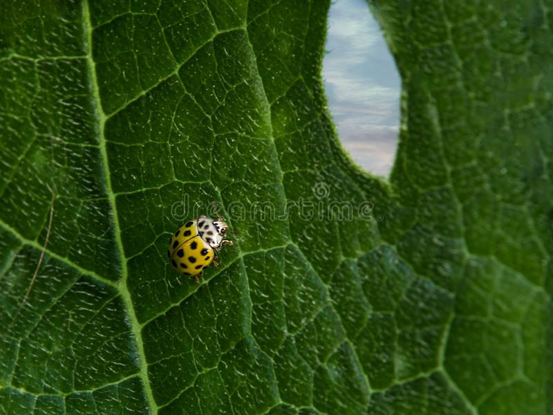 Close up of yellow ladybug on green leaf with window hole. Close up of yellow ladybug on green leaf with window hole showing sky. Macro. Concept of freedom stock photos