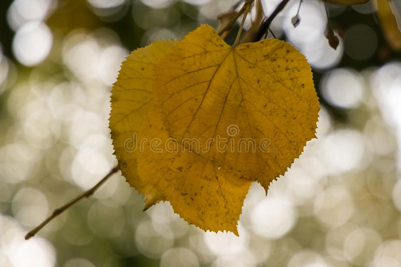 Yellow autumn leaves on a tree with a bokeh background. Close up of a yellow leave with autumn colors. background is blurred stock images