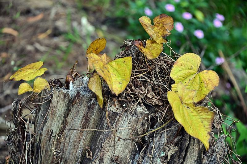 Close up of yellow leaves on a dead tree trunk stock photo