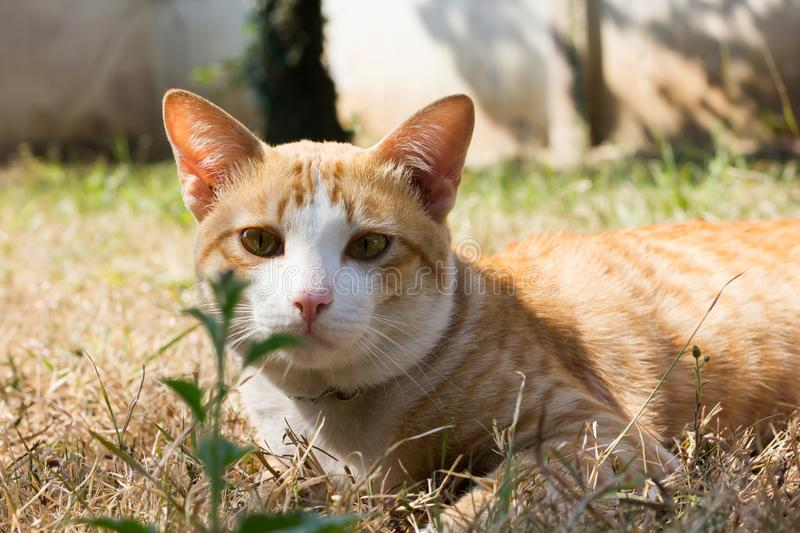 Close-up yellow light brown cat at the face, cat on dry grass field royalty free stock photography