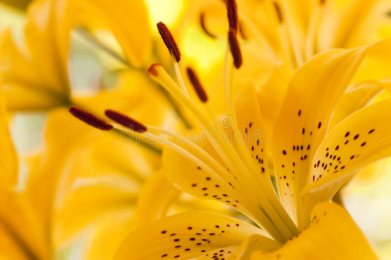 Download Close Up Of The Yellow Lilly Stock Image - Image: 10368059