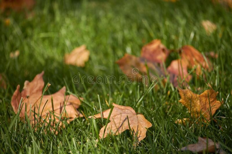 Close-up of yellow maple leaves on the green grass of the lawn, selective focus. Close up of yellow maple leaves on the green grass of the lawn, selective focus stock photography