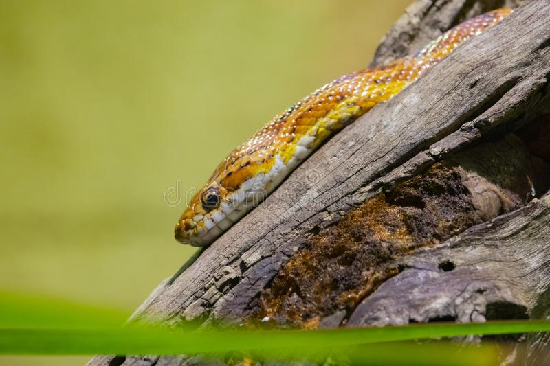 Yellow snake sitting on top of a log stock photo