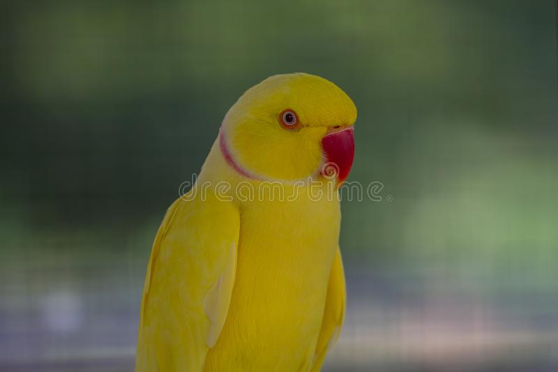 Close up Yellow parrot royalty free stock images