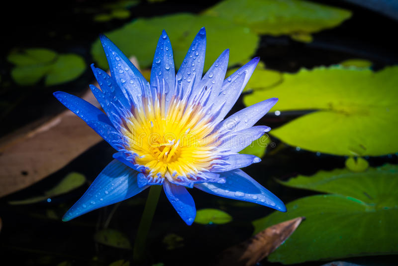 Close up of a yellow purple lotus. With water drop stock photos