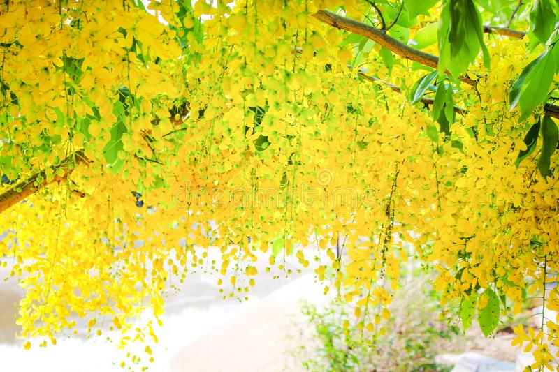 Yellow ratchaphruek flowers blooming on tree near the river , Colorful golden shower on background royalty free stock photos