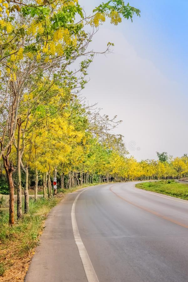 Yellow ratchaphruek trees or colorful golden shower with flowers blooming  on sides of the asphalt road and bright sky background stock photo