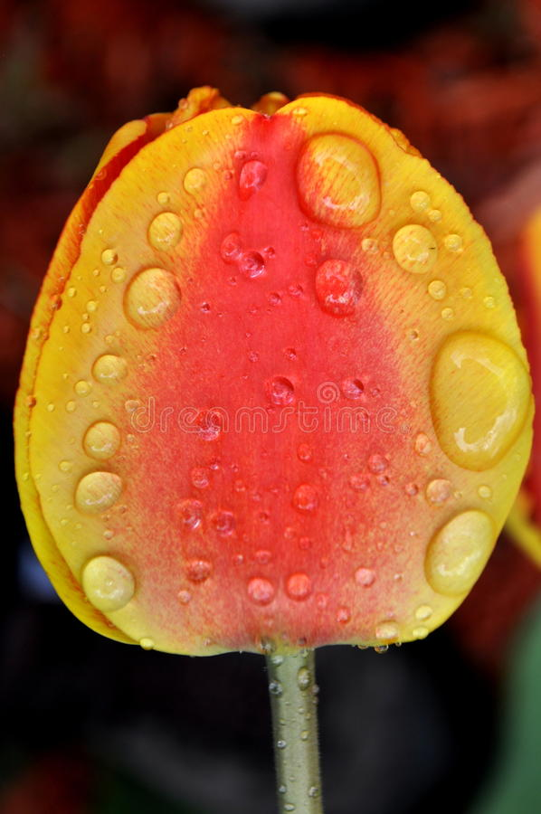 A close up of a yellow red orange tulip head with rain drops and dew on petals royalty free stock photography